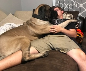 Father of the Mastiff puppies born on 11/01/2019
