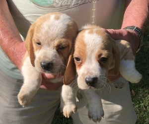 Beagle Puppy for sale in YADKINVILLE, NC, USA
