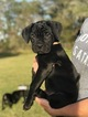 Cane Corso Puppy For Sale in SEFFNER, FL, USA