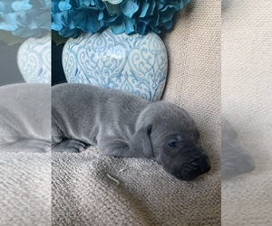 Great Dane Puppy for sale in DIGHTON, MA, USA
