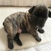 French Bulldog Puppy For Sale in DUNDEE, IL,