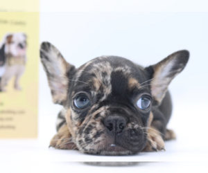 French Bulldog Puppy for Sale in PALMA CEIA, Florida USA