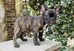 French Bulldog Puppy For Sale in MIDDLEBURG, FL, USA