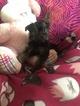 Shorkie Tzu-Yorkshire Terrier Mix Puppy For Sale in SARASOTA, FL, USA