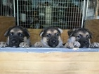 German Shepherd Dog Puppy For Sale in NARVON, PA, USA