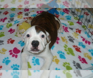 American Bulldog-Olde Bulldog Mix Puppy for Sale in ORO VALLEY, Arizona USA