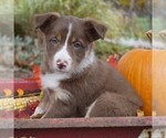 Small Collie