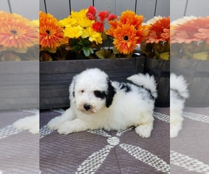 Bernedoodle Puppy for sale in MILLERSVILLE, MD, USA