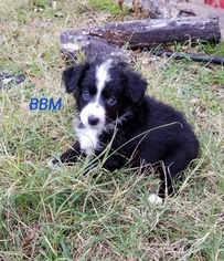 Miniature Australian Shepherd Puppy For Sale in CHELSEA, OK, USA