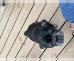 Small #18 Pug