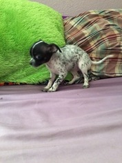 Chihuahua Puppy For Sale in ORLANDO, FL, USA