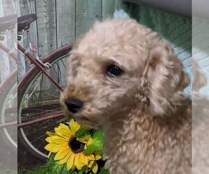 Father of the Maltipoo-Poodle (Miniature) Mix puppies born on 07/01/2021