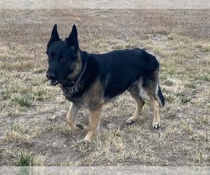 Father of the German Shepherd Dog puppies born on 11/08/2020