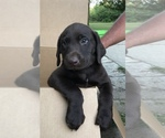 Labrador Retriever Puppy For Sale in POLK CITY, IA, USA