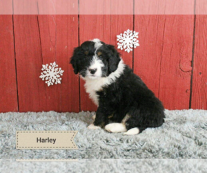 Bernese Mountain Dog Dog for Adoption in LIMA, Ohio USA