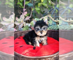 Yorkshire Terrier Puppy for sale in LOS ANGELES, CA, USA