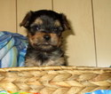 Yorkshire Terrier Puppy For Sale in MERRILL, OR, USA