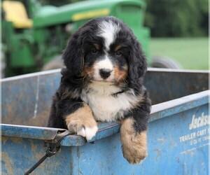 Bernese Mountain Dog Dog for Adoption in FREDERICKSBG, Ohio USA