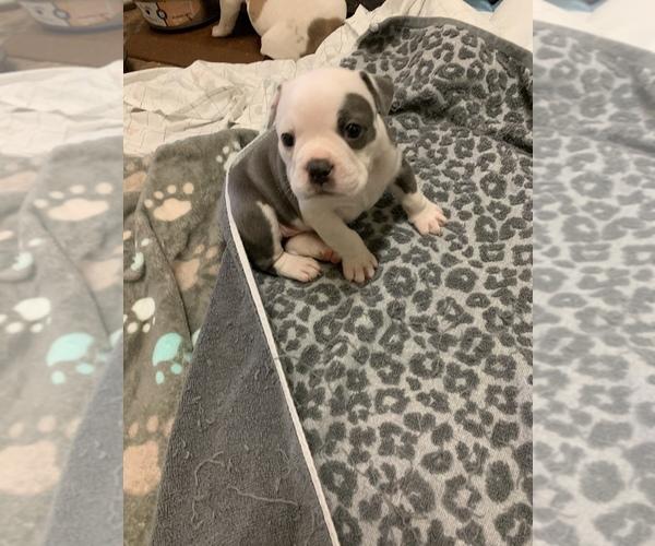 Medium Photo #6 Olde English Bulldogge Puppy For Sale in BOSSIER CITY, LA, USA