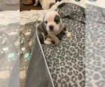 Small Photo #6 Olde English Bulldogge Puppy For Sale in BOSSIER CITY, LA, USA