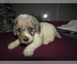 Poodle (Toy)-Saint Bernard Mix Puppy for sale in GARRISON, MD, USA