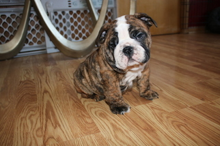 Bulldog Puppy For Sale in BROOKFIELD, WI, USA