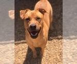 Small Photo #1 Boxador Puppy For Sale in CLEVELAND, TN, USA
