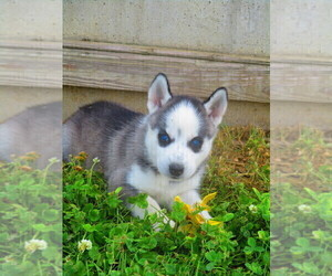 Siberian Husky Puppy for sale in SHILOH, OH, USA