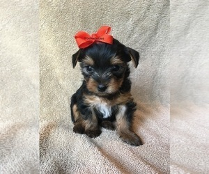 Yorkshire Terrier Puppy for Sale in MARIETTA, Georgia USA