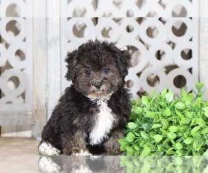Morkie Dog for Adoption in MOUNT VERNON, Ohio USA