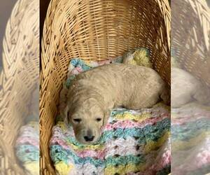 Poodle (Standard) Puppy for Sale in LEDBETTER, Kentucky USA