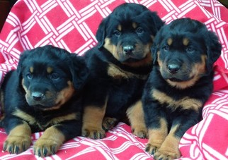 Rottweiler Puppy For Sale in CONOWINGO, MD
