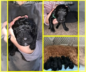 Golden Retriever-Poogle Mix Puppy for sale in BARBOURSVILLE, WV, USA