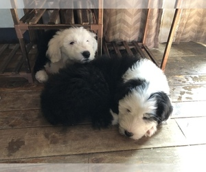 Old English Sheepdog Puppy for sale in FRANKLIN, OH, USA