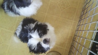 Shinese Puppy For Sale in WARWICK, RI, USA
