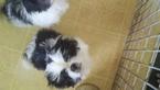 Shinese Puppy For Sale in WARWICK, Rhode Island,