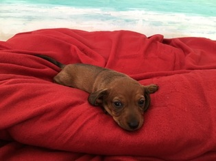 Dachshund Puppy For Sale in ELIZABETH CITY, NC, USA