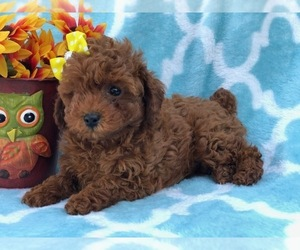 Poodle (Miniature) Puppy for sale in CEDAR LANE, PA, USA