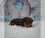 Small Photo #2 Chihuahua Puppy For Sale in HAMPTON, VA, USA