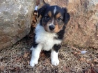 Australian Shepherd Puppy For Sale in DURANGO, CO
