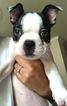 Boston Terrier Puppy For Sale in ORLANDO, FL, USA