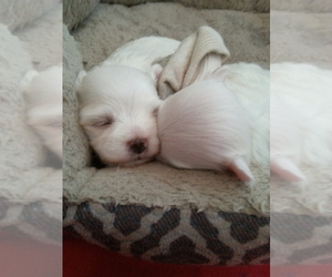 Maltese Puppy for Sale in OKC, Oklahoma USA
