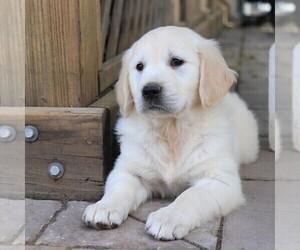 Golden Retriever Dog for Adoption in GAP, Pennsylvania USA