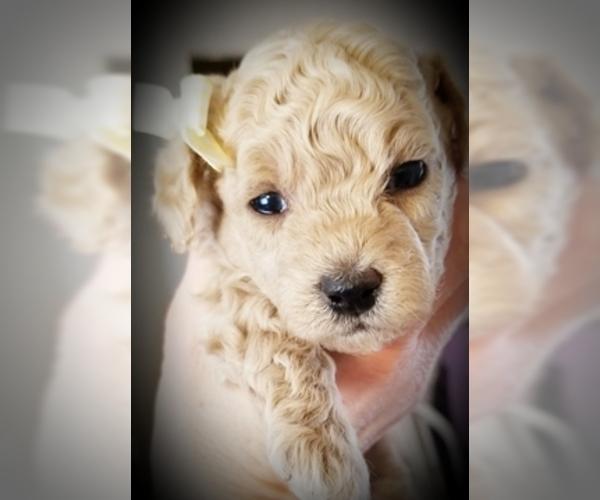 Medium Photo #3 Poodle (Miniature) Puppy For Sale in EMPORIA, KS, USA