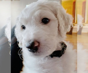 Goldendoodle-Poodle (Standard) Mix Puppy for Sale in DAVISON, Michigan USA