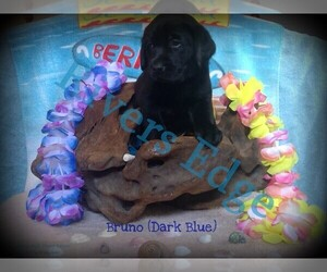 Labrador Retriever Puppy for sale in BUMPASS, VA, USA