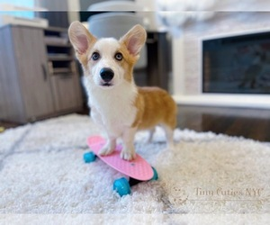 Cardigan Welsh Corgi Puppy for sale in ASTORIA, NY, USA