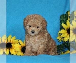 Poodle (Toy) Puppy for sale in PORT DEPOSIT, MD, USA