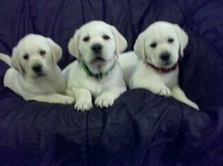 Labrador Retriever Puppy For Sale in PARMA, ID, USA