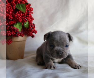 French Bulldog Puppy for sale in ARTHUR, IL, USA